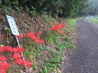 平戸街道には彼岸花がよく似合う